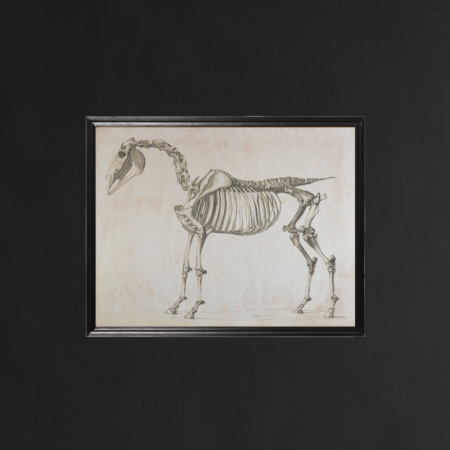 Animal Horse Skeleton